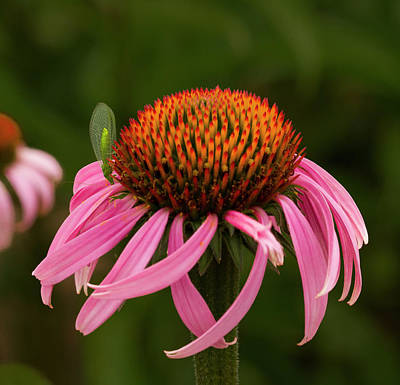 Lacewing On Echinacea Blossom Print by Jean Noren