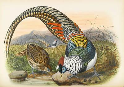 Pheasant Drawing - Lady Amherst's Pheasant. Thaumalea Amherstiae by Joseph Wolf