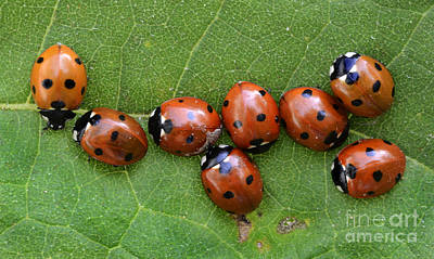 Ladybug Photograph - Lady Bugs  by Bob Christopher