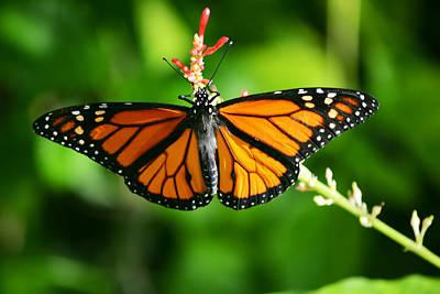Fluttering Photograph - Lady Monarch by Melanie Moraga