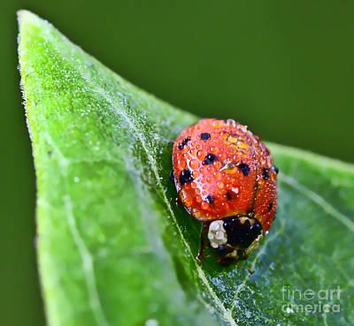 Ladybug Photograph - Ladybug With Dew Drops by Kerri Farley