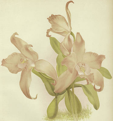 Pink Orchid Petals Painting - Laelia Autumnalis Venusta by English School