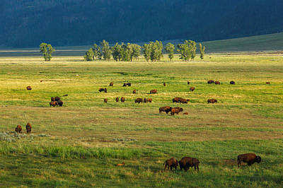 Bison Photograph - Lamar Valley by Todd Klassy