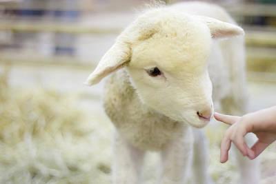 Livestock Photograph - Lamb At Denver Stock Show by Anda Stavri Photography