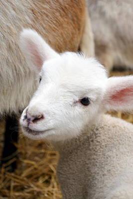 Religious Art Photograph - Lamb by Michelle Calkins
