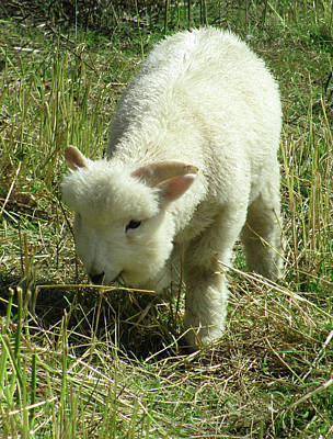 Lamb Print by The Rambler