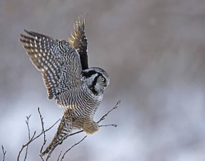 Landing Hawk Owl Print by Tim Grams
