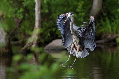 Small Turtle Photograph - Landing Heron by Mircea Costina Photography