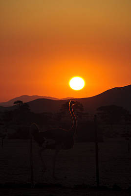 Landscapes - Ostrich Sundown Print by Andy-Kim Moeller