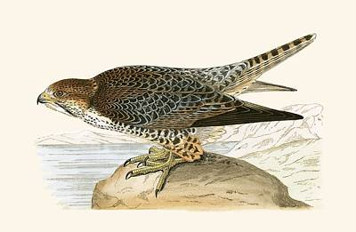 Falcon Drawing - Lanner Falcon by English School