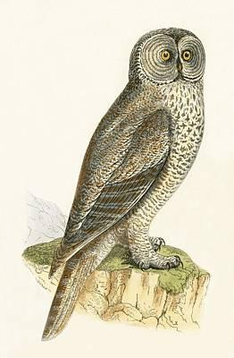 Owl Drawing - Lap Owl by English School