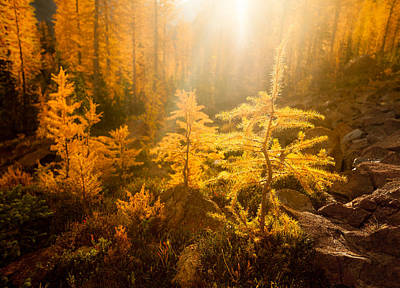 Larch Light Print by Thorsten Scheuermann