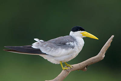 Wetlands Photograph - Large-billed Tern Phaetusa Simplex by Panoramic Images