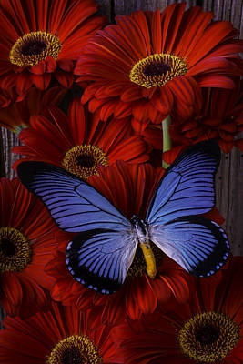 Large Blue Butterfly Print by Garry Gay