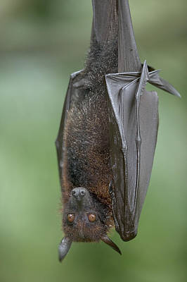 Large Flying Fox Pteropus Vampyrus Print by Cyril Ruoso