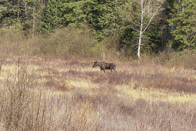 Photograph - Large Male Moose Fedding by Josef Pittner