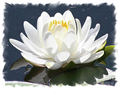 Large Water Lily With White Border Print by Carol Groenen