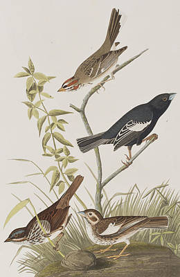 Finch Drawing - Lark Finch Prairie Finch Brown Song Sparrow by John James Audubon