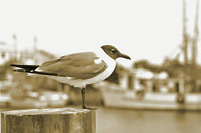 Shem Creek.sepia Photograph - Laughing Gull by A R Williams