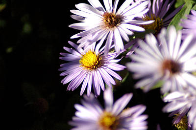 Photograph - Lavender 3 by David Weeks