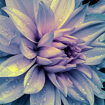 Lavender And Pink Dahlia And Water Drops Print by Julie Palencia