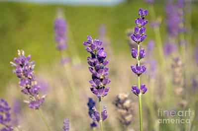 Lavender Flowers Print by Sinisa CIGLENECKI