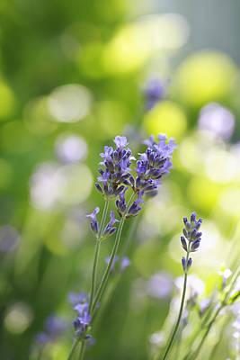 Lavender Garden Print by Frank Tschakert