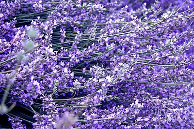 Tbilisi Photograph - Lavender by Lali Kacharava
