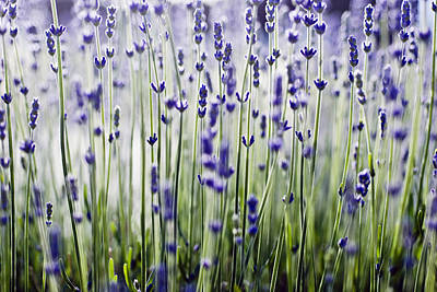 Photograph - Lavender Patterns by Ray Laskowitz - Printscapes