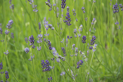Photograph - Lavender by Sergey Lukashin