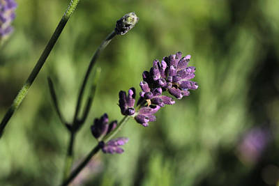 Lavender True Print by Connie Handscomb