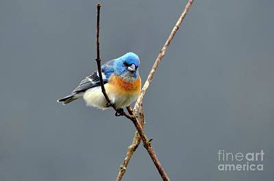 Lazuli Bunting II Print by Laura Mountainspring