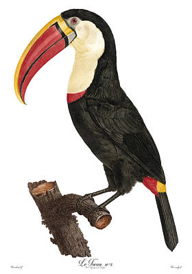 Copper Plate Etching Drawing - Toucan Le Tocan Antique Bird Print Jacques Barraband Francois Levaillant by Jacques Barraband