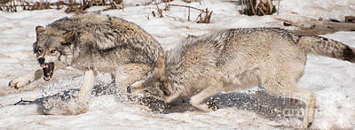 Wolf Photograph - Leader Of The Pack by Bianca Nadeau