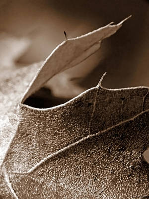 Leaf Study In Sepia II Print by Lauren Radke