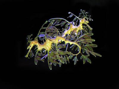 Leafy Sea Dragon Photograph - Leafy Sea Dragons by Anthony Jones