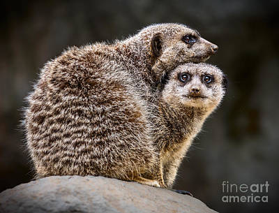 Meerkat Photograph - Lean On Me by Jamie Pham