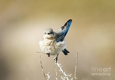 Bluebird Photograph - Left Wing Test by Mike Dawson