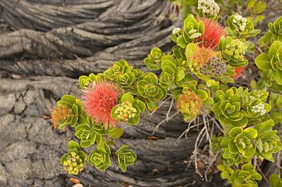 Photograph - Lehua Flower by Ron Dahlquist - Printscapes