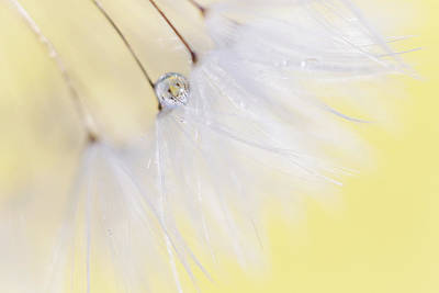 Gallery Wrap Photograph - Lemon Drop by Amy Tyler