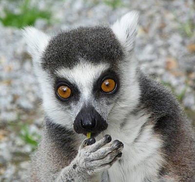 Photograph - Lemur Snacktime Thoughts by Margaret Saheed