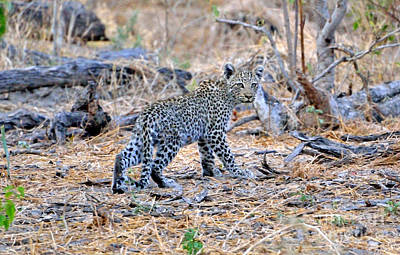 Photograph - Leopard Cub On The Move by Tom Wurl