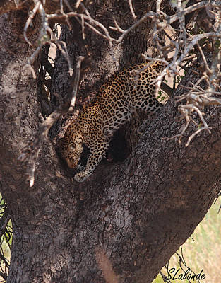 Photograph - Leopard In Tree by Sarah  Lalonde