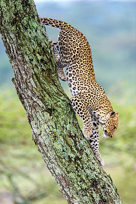 Leopard Panthera Pardus Moving Print by Panoramic Images