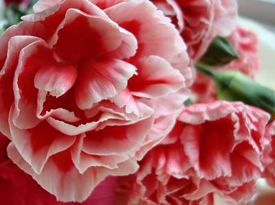 Pink Carnation Photograph - Les Jolis Petales by Kathy Bucari