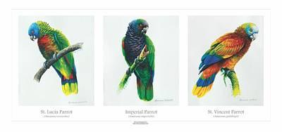 St. Lucia Parrot Painting - Lesser Antillean Parrots Triptych by Christopher Cox
