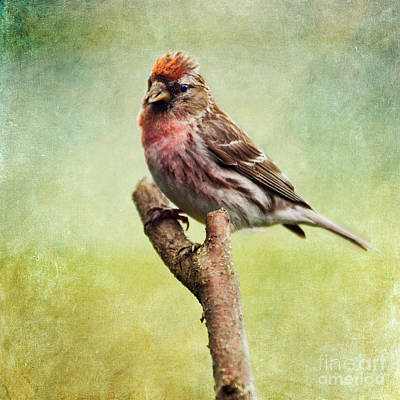 Finch Photograph - Lesser Redpoll Carduelis Cabaret Or Acanthis Cabaret by Liz Leyden
