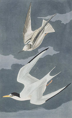 Birds In Flight Drawing - Lesser Tern by John James Audubon