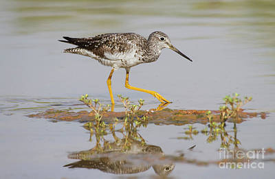 Greater Yellowlegs Print by Ruth Jolly