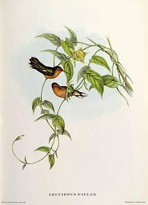Exotic Bird Painting - Leucippus Fallax by John Gould